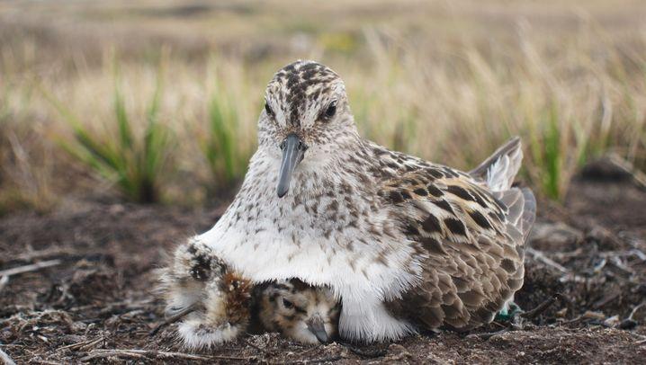 Brütende Vogelpaare: Wann tauschen wir?