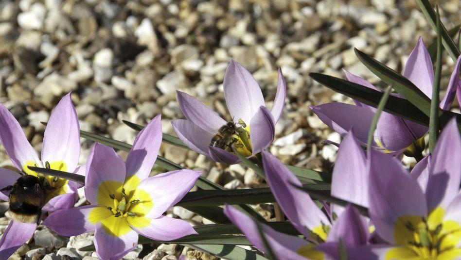 Die Blumenwiese als Keimzelle: Krankheiten übertragen sich über die Blüten von Bienen auf Hummeln