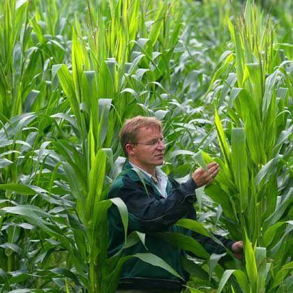 """Genmais MON 810 auf einem Feld in Brandenburg: """"Monsanto berüchtigt für harte Bandagen"""""""