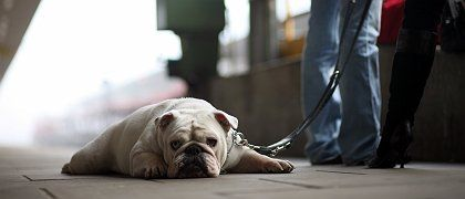 """Humans weren't the only ones left stranded by the train drivers' strike on Friday. Here, the bulldog """"Dolly"""" waits at Hamburg's Altona station, wondering if the next train will ever come."""