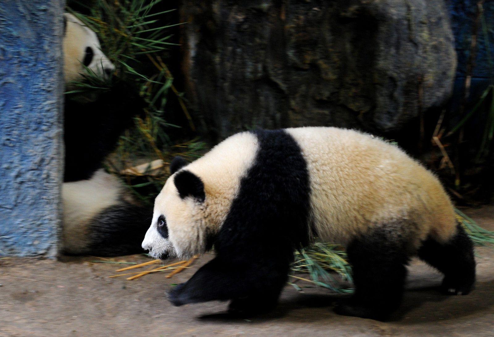Panda Linping