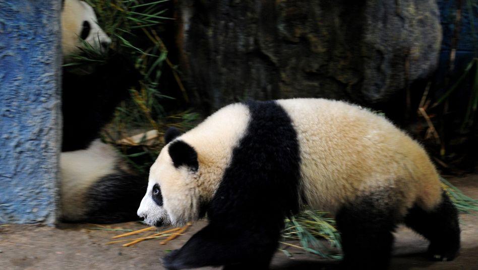 Pandabär Linping (vorne): Kein Reality-Star mehr