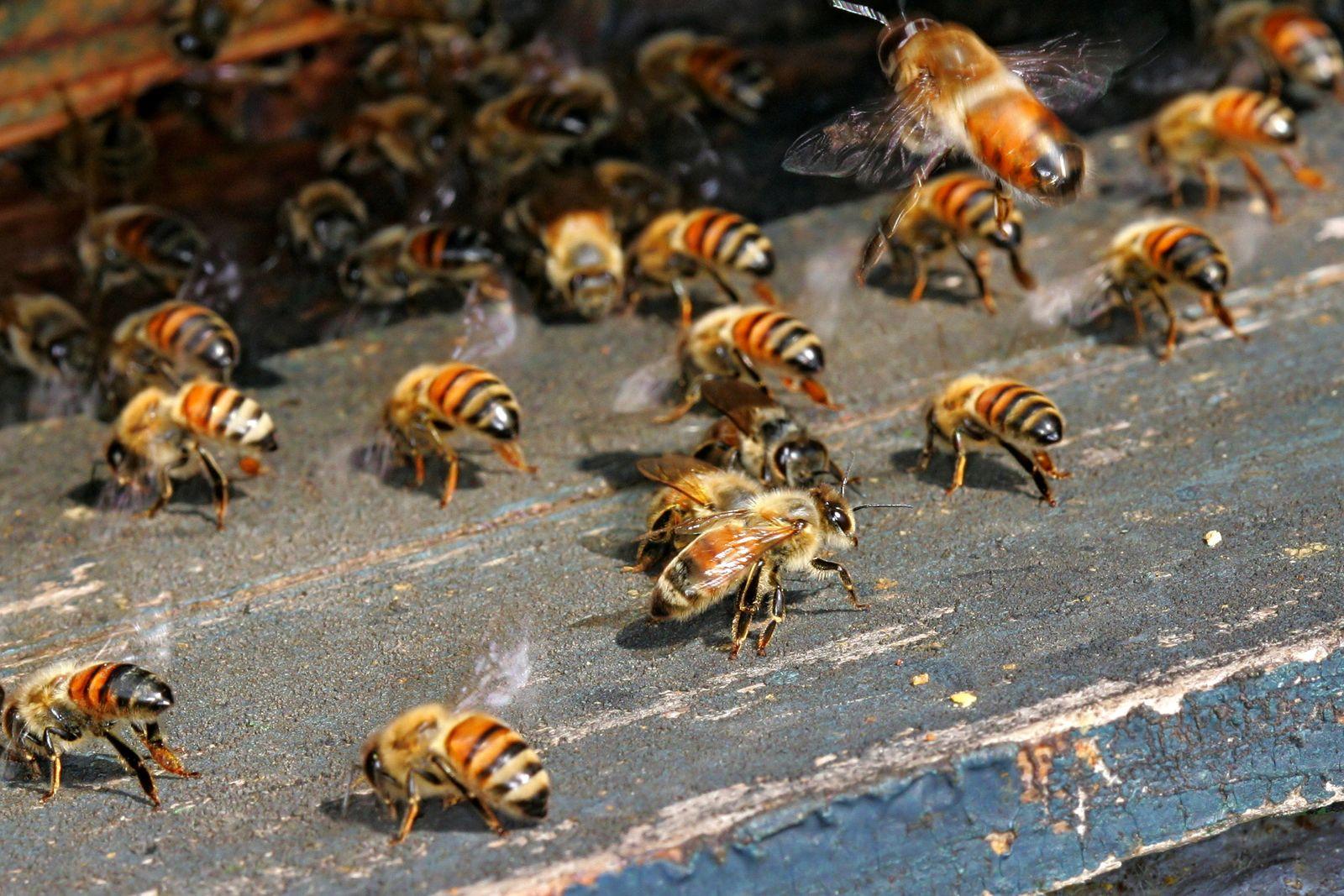 Bienensterben / Bienen