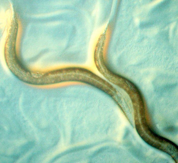 Fadenwürmer sind lästige Parasiten, ernähren sich aber nicht von Klicks
