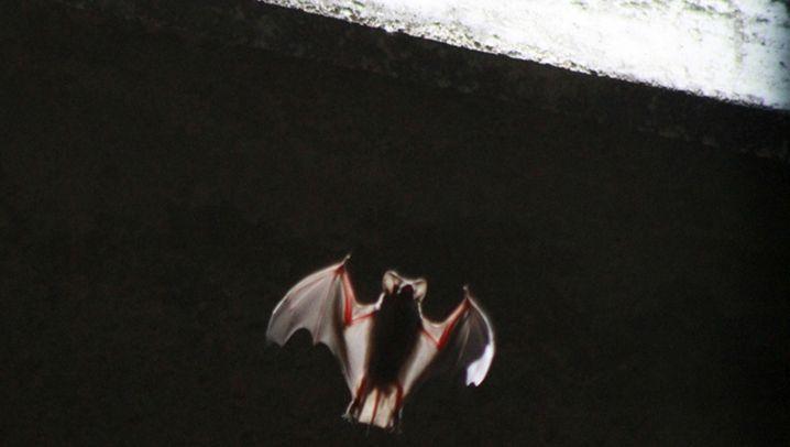 Fledermäuse: Männer sichern sich per Ultraschall die Beute