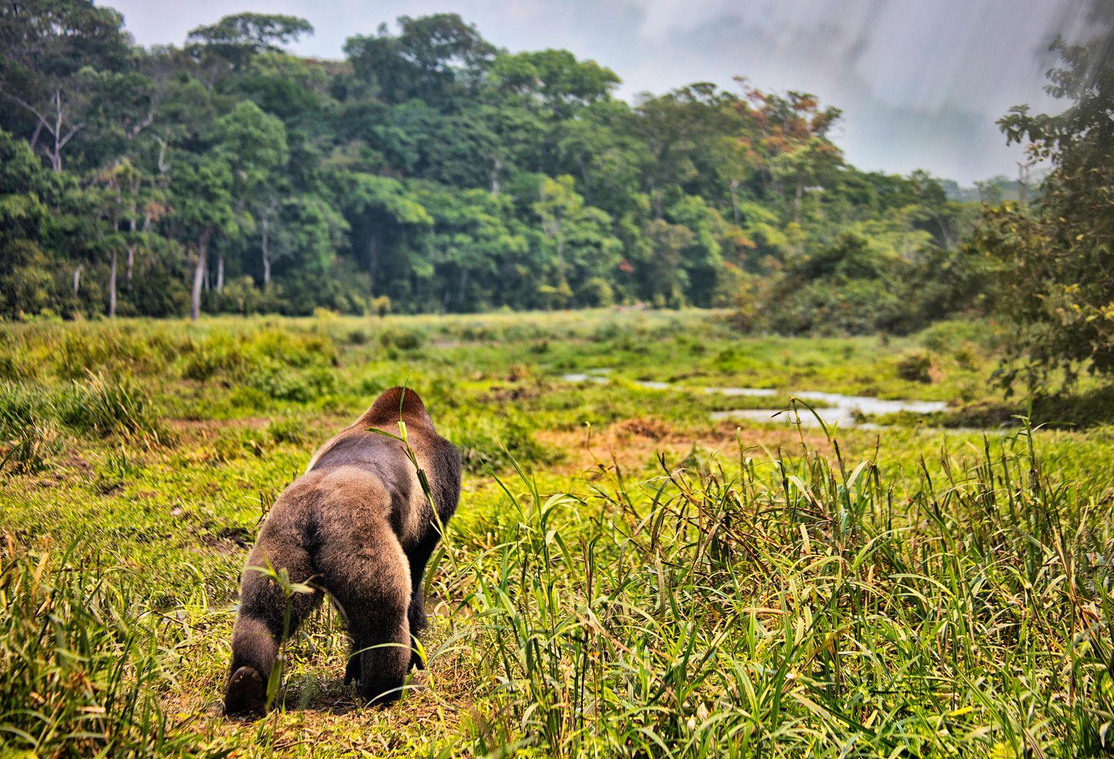 Western Lowland Gorilla (Gorilla gorilla gorilla). BAI Hokou. Dzanga Sangha Special Dense Forest Reserve, Central Africa
