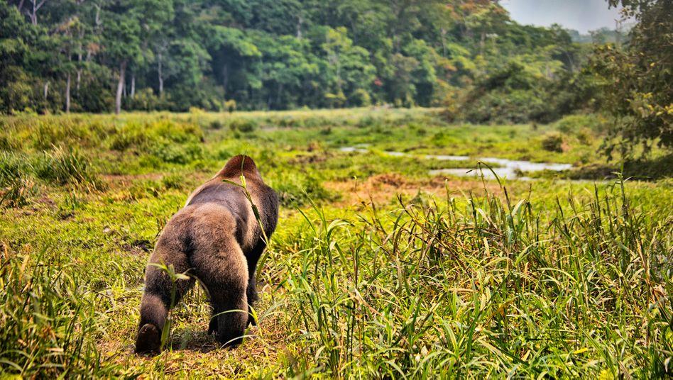Gorillas im Kongo sind ebenfalls vom Aussterben bedroht
