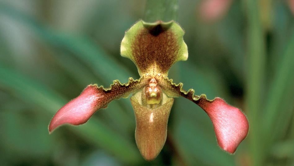 Die Frauenschuh-Orchidee (Paphiopedilum hirsutissimum) ist in deutschen Büros selten anzutreffen