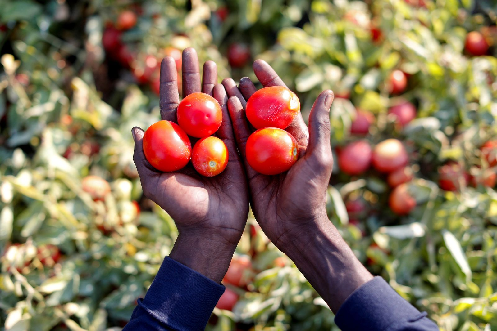 Sutay Darboe, 42, from Senegal holds tomatoes in a field of tomato plants, near Foggia