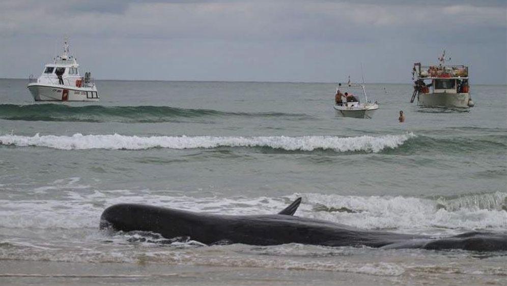 Italien: Mit Wagenhebern Wale retten