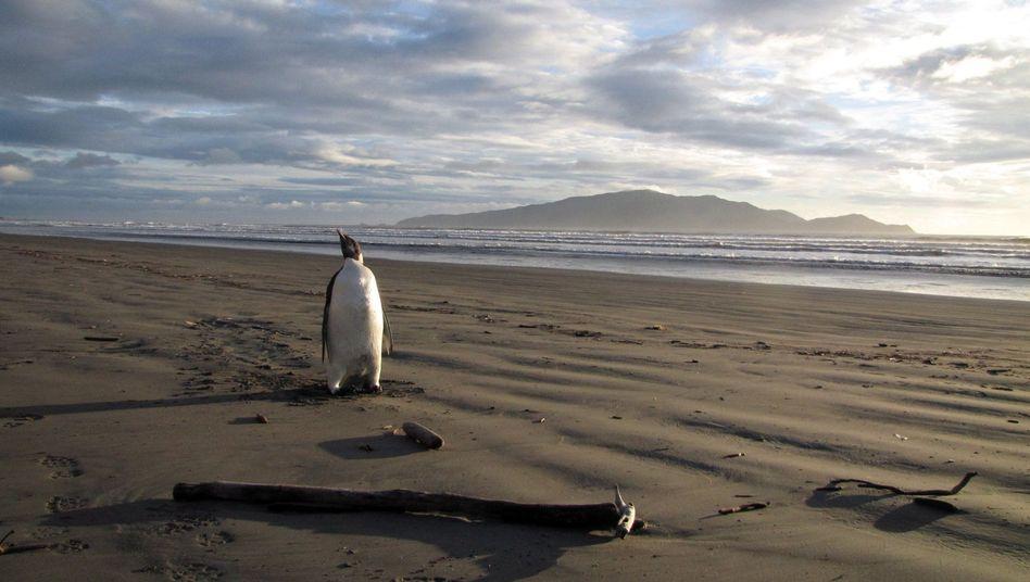 Lange Reise: Kaiserpinguin verirrte sich nach Neuseeland