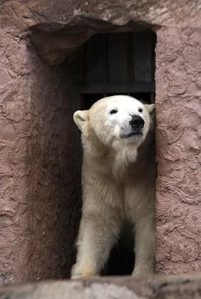 """""""Vera,"""" one of two polar bears who gave birth to cubs in Nuremberg Zoo, looking out of her cave last Saturday. Her cub is still alive, the Zoo says. The two cubs born to """"Vilma"""" are dead."""