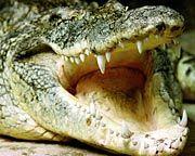 Krokodil: Schwer bissig, aber nicht sehr clever