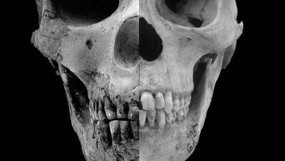 Schädelvergleich: Die Überaugenwülste gingen im Laufe der Zeit zurück