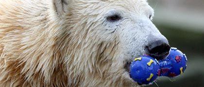 Knut mit Beißknochen: Mal ein neues Spielzeug