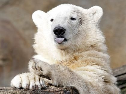 Knut sticking out his tongue at visitors last week.