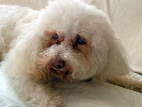 Krebshund Oscar: Tumor nach 15 Monaten um 43 Prozent geschrumpft