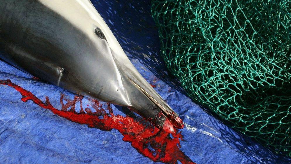 Tödliche Netze: Delfine als Beifang