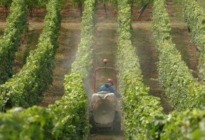 """Insektizid-Einsatz auf elsässischem Weingut: """"Die Leute haben Angst"""""""