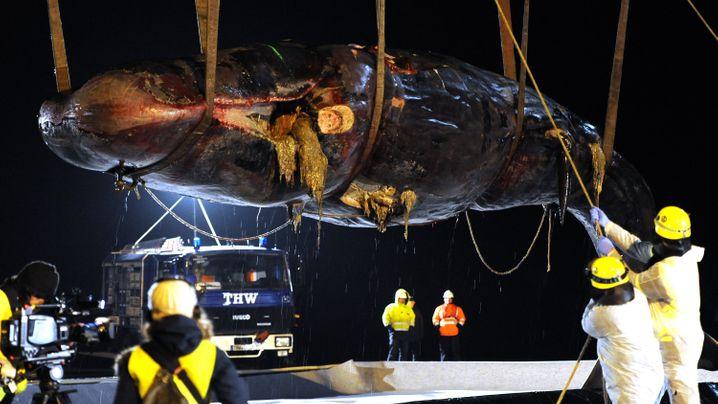 Wale in Wilhelmshaven: Per Autokran an Land gehievt