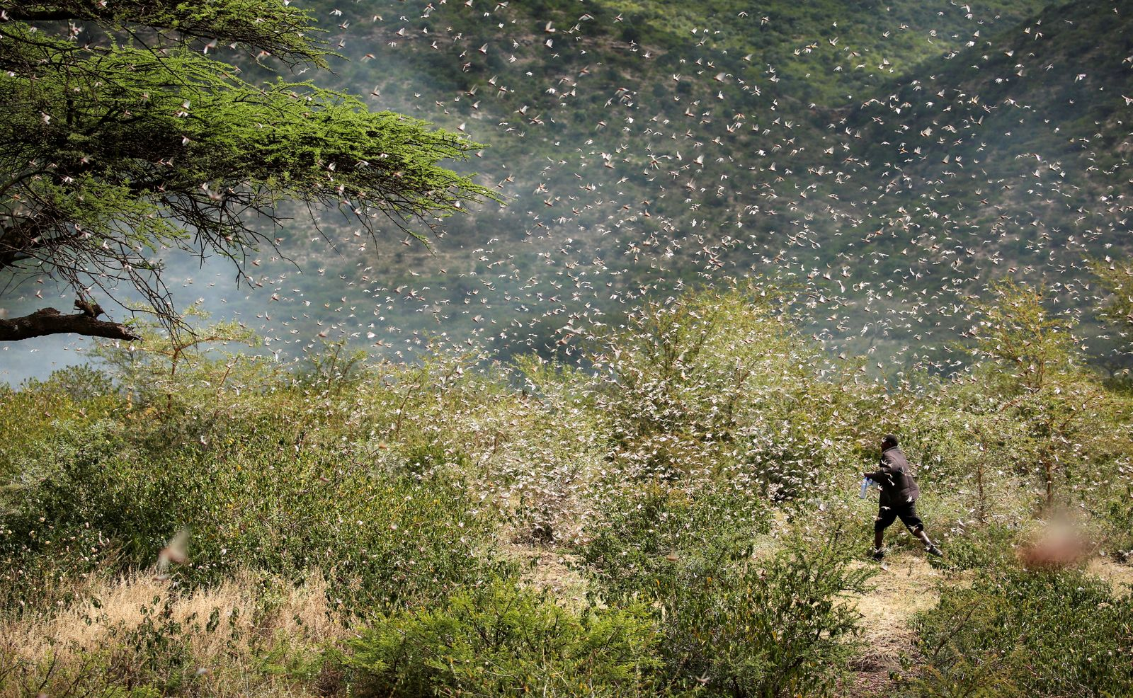 An Ethiopian farmer attempts to fend off desert locusts as they fly in his khat farm on the outskirt of Jijiga in Somali region