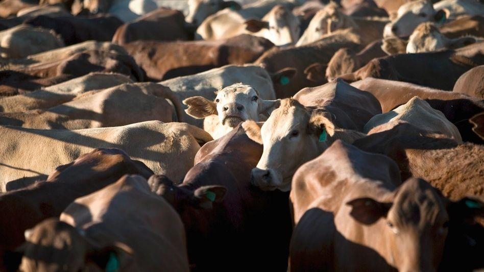 Rinderherde auf der Ranch Brunette Downs in Australien