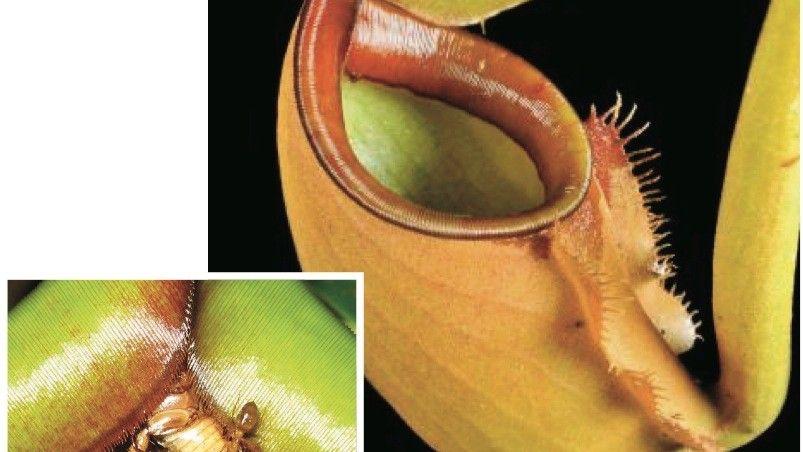 Kannenpflanze, Ameisen auf Beutejagd