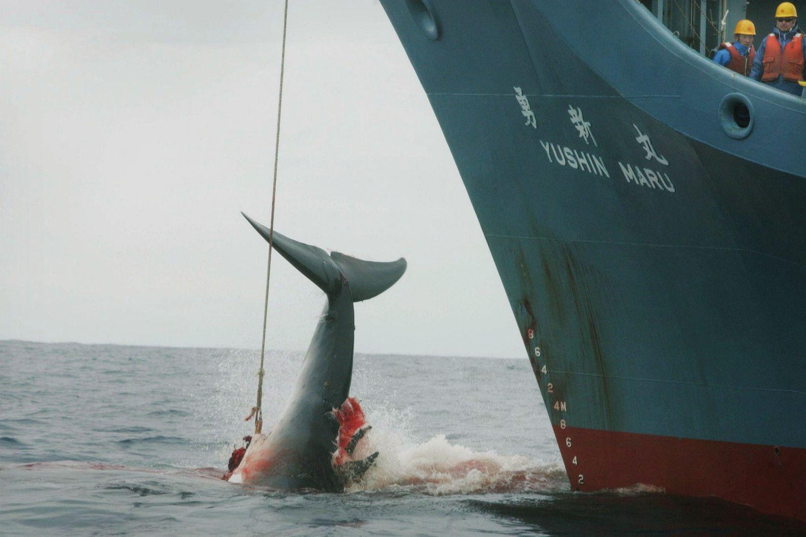 Japanischer WalfängerWalfang/ Japan/ Antarktis/ Wiederaufnahme