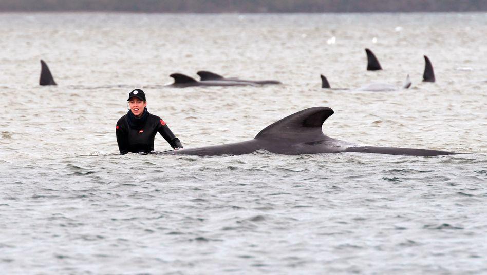 Helferin steht bei einem der Wale: 25 Tiere konnten bisher gerettet werden