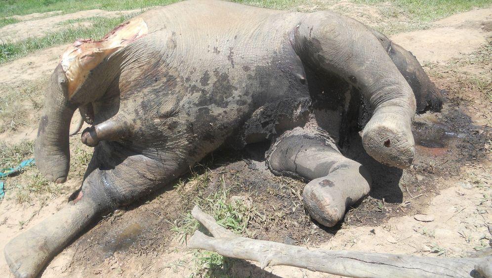 Wilderei: Tödliche Gefahr für Afrikas Elefanten