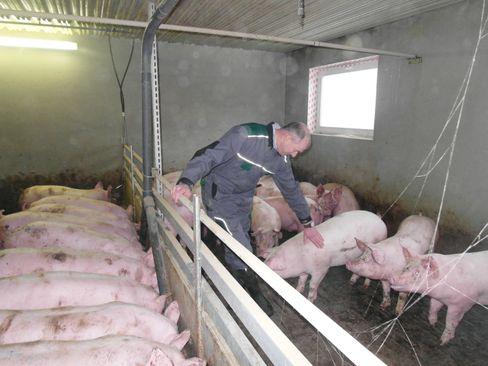 Konventioneller Schweinemäster Thun bei seinen Tieren
