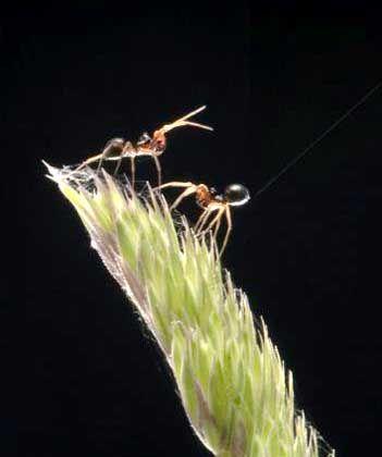 Flieger: Zwei Spinnen-Männchen der Gattung Erigone - das rechte hebt den Unterleib, um einen Faden zu schleudern