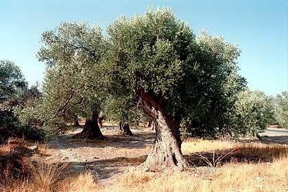 """Olivenbaum: Naht mit """"De Gloria Olivae"""" das Ende der Welt?"""