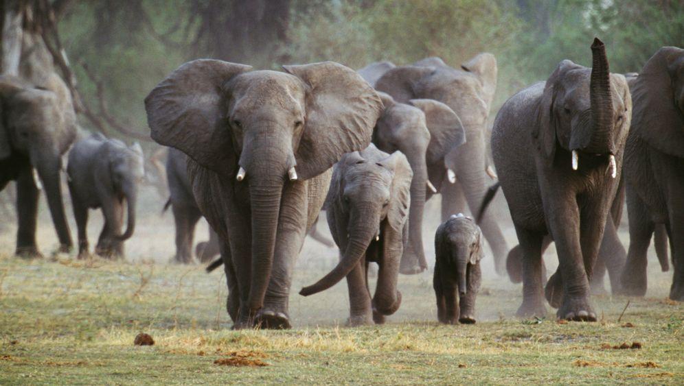 Elfenbein aus Afrika: Auf Elefantenjagd
