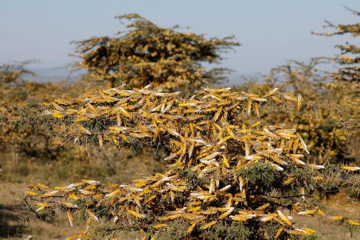 Heuschrecken in Kenia: Oft hilft nur Gift im Kampf gegen die Tiere