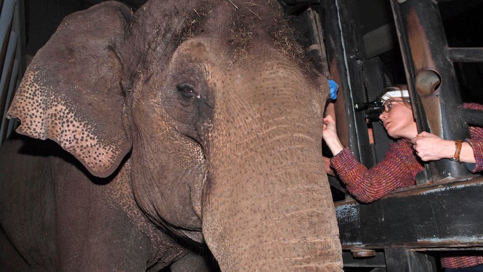 The vet who fit Win Thida had to practice the procedure with the elephant for weeks.