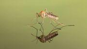 Können Mücken Sars-CoV-2 übertragen?
