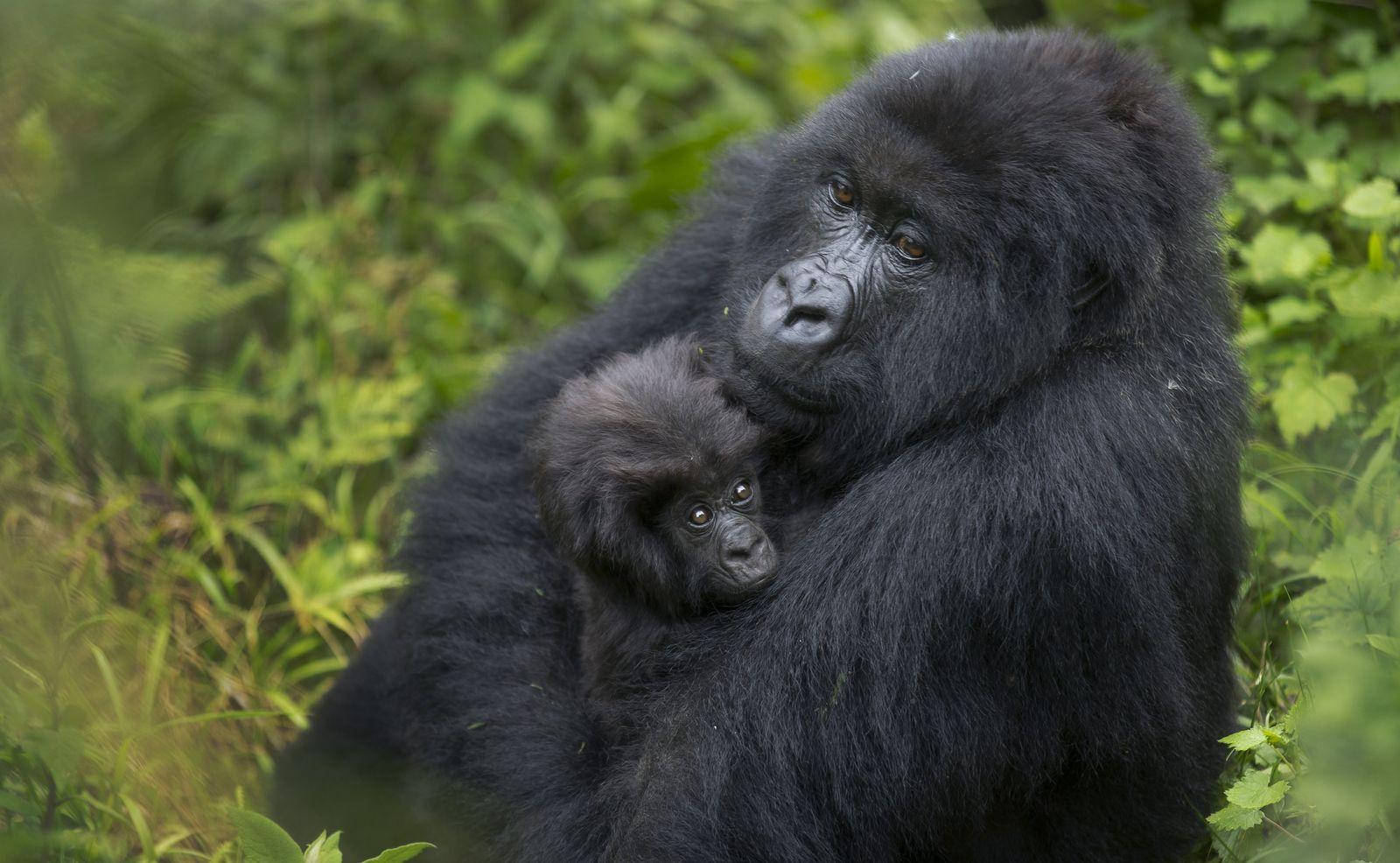 Rwanda/ Gorillas