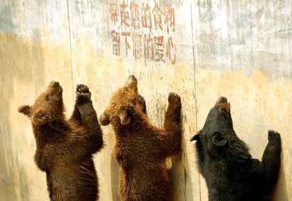 Bettelnde Bären im Zoo von Peking: Besucherzahlen gingen um 98 Prozent zurück