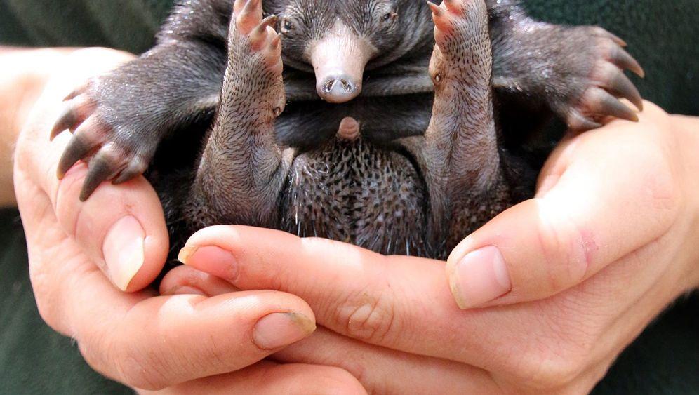Zoo in Sydney: Selten, seltener, Ameisenigel