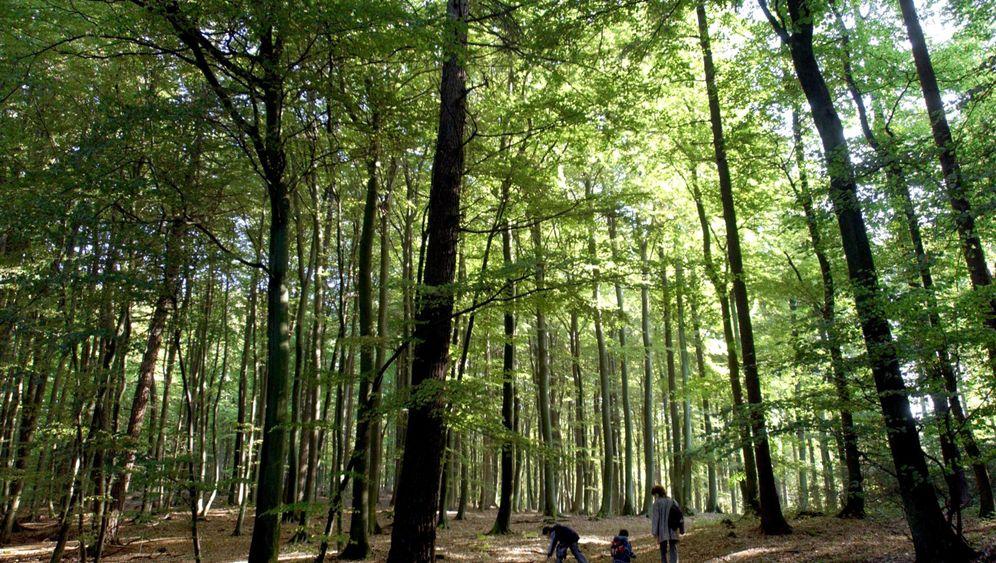 Buchenwälder als Unesco-Welterbe: Von Hainich bis Grumsin