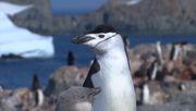 Ein Rekord, der nur die Pinguine freut
