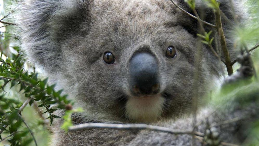 Klimaanlage der Koalas: Baumstamm kuschel mich