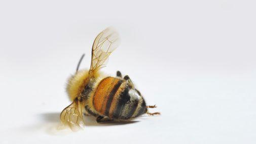 Tote Biene (Symbolbild)
