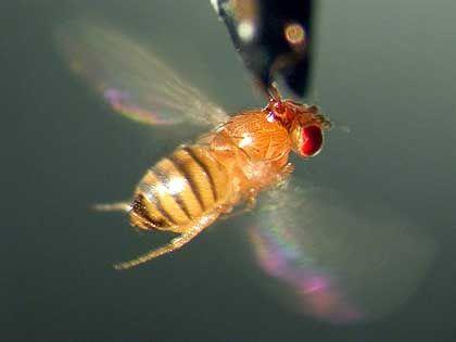 Taufliege Drosophila: Transposon-Abwehr mit siRNAs