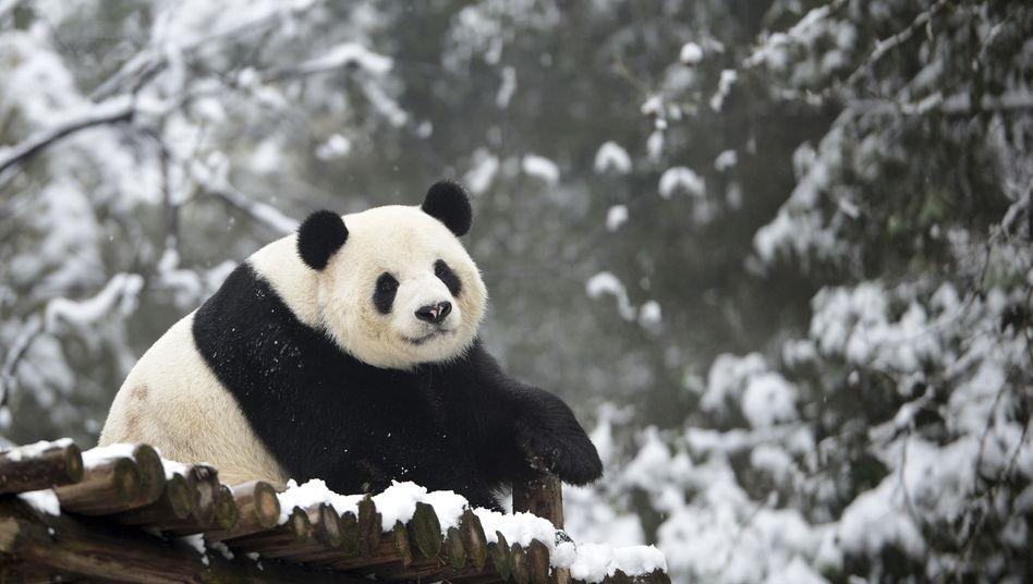 Pandabär im Zoo Wuhan (Privinz Hubei, China): 520.000 Yuan Entschädigung