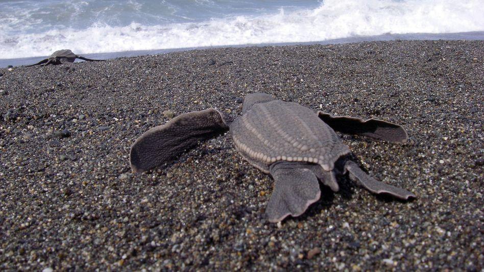 Lederschildkröten (Dermochelys coriacea): Fernreisen auf dem Ozean