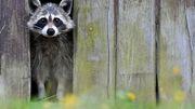 Waschbären bedrohen seltene Tierarten