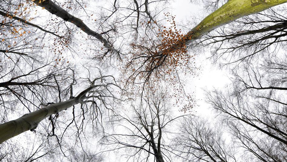 Rotbuchen: Die Wälder sollen weltweit wieder wachsen