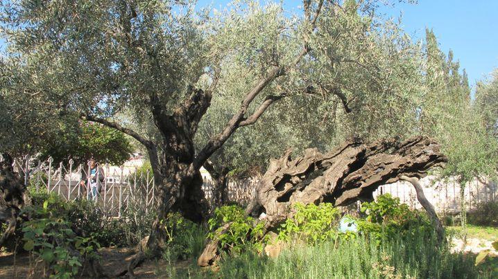 Im Garten Gethsemane am Ölberg in Jerusalem verbrachte Jesus laut der Bibel die letzte Nacht vor seiner Kreuzigung.